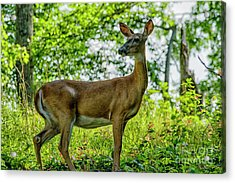 Acrylic Print featuring the photograph Whitetail Deer  by Thomas R Fletcher