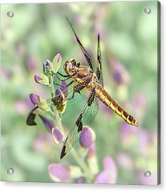 Acrylic Print featuring the photograph Whitetail Dragonfly On False Indigo 2 by Jim Hughes