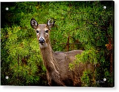 Whitetail In The Pines Acrylic Print