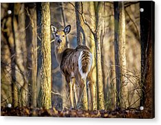 Whitetail Winter Morning Acrylic Print
