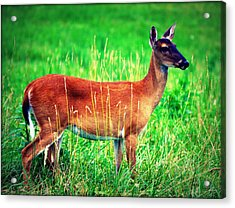 Whitetailed Deer Acrylic Print by Susie Weaver