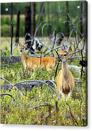 Whitetails Acrylic Print by Marty Koch