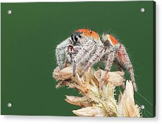 Whitman's Jumping Spider Acrylic Print by Derek Thornton