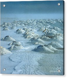 Whooper Swans In Snow Acrylic Print by Teiji Saga and Photo Researchers