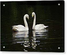 Acrylic Print featuring the photograph Whooper Swans by Sandy Keeton