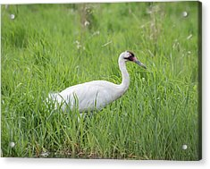 Whooping Crane 2017-2 Acrylic Print by Thomas Young
