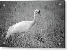 Whooping Crane 2017-4 Acrylic Print by Thomas Young