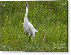 Whooping Crane And Chick Acrylic Print by Scott Nelson