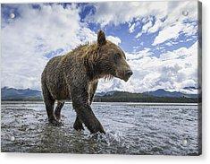 Wide Angle View Of Coastal Brown Bear Acrylic Print