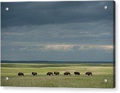 Wild American Bison Roam On A Ranch Acrylic Print by Joel Sartore