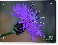 Wild And Beautiful 32 Acrylic Print