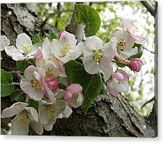 Acrylic Print featuring the photograph Wild Apple Blossoms by Angie Rea