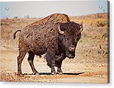 Wild Bison Acrylic Print