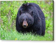 Wild Black Bear Acrylic Print