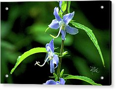 Wild Blue Flowers Acrylic Print