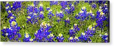 Acrylic Print featuring the photograph Wild Bluebonnet Flowers by D Davila
