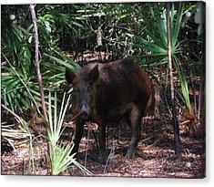 Wild Boar I Acrylic Print
