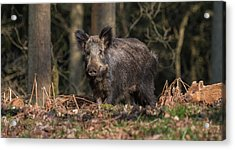 Wild Boar Sow And Young Acrylic Print
