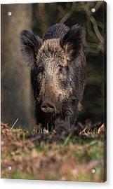 Wild Boar Sow Portrait Acrylic Print