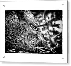 Acrylic Print featuring the photograph Wild Boar by Wade Courtney