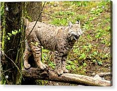 Wild Bobcat In Mountain Setting Acrylic Print by Teri Virbickis