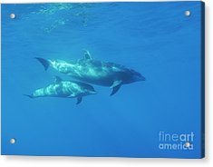Wild Bottle-nosed Dolphin Mother And Calf Acrylic Print by Sami Sarkis
