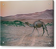 Acrylic Print featuring the photograph Wild Camel by Charles McKelroy