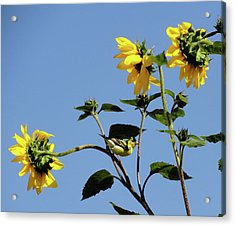 Wild Canary Sunflowers Acrylic Print by Shannon Grissom