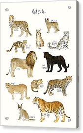 Wild Cats Acrylic Print by Amy Hamilton