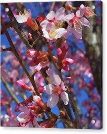 Wild Cherry Tree In Bloom Acrylic Print by Garland Johnson