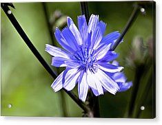 Wild Chicory Acrylic Print by Ross Powell