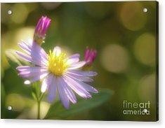 Wild Chrysanthemum Acrylic Print