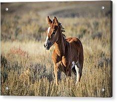 Wild Colt In Sand Wash Basin - Northwest Colorado Acrylic Print