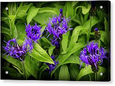 Wild Cornflowers In Iceland Acrylic Print by Venetia Featherstone-Witty