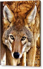 Wild Coyote Acrylic Print by Adam Olsen