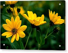 Wild Daisies Acrylic Print by Roger Soule