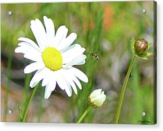 Wild Daisy With Visitor Acrylic Print