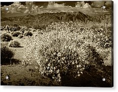 Acrylic Print featuring the photograph Wild Desert Flowers Blooming In Sepia Tone  by Randall Nyhof