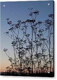 Wild Dill Silhouette Acrylic Print by Jean Booth