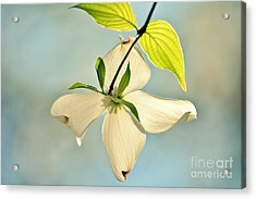 Wild Dogwood Bloom 2 Acrylic Print