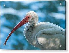 Wild Eyed Ibis Acrylic Print