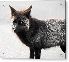 Wild Eyes Acrylic Print by David Lee Thompson