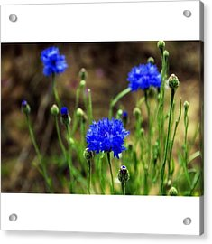 Wild Flower Beauty 3 #flowers #france Acrylic Print
