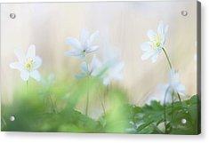 Wild Flower Carpet - Wood Anemone Acrylic Print by Dirk Ercken