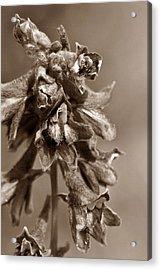 Wild Flower In Sepia Acrylic Print by Mario Brenes Simon