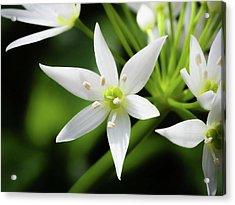 Wild Garlic Flower Acrylic Print