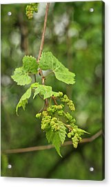Wild Grapes 1992 Acrylic Print by Michael Peychich