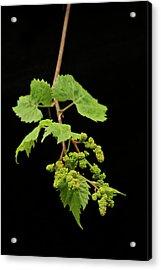 Wild Grapes 1995 Acrylic Print by Michael Peychich