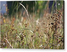 Wild Grass And Burrs Acrylic Print by Jonathan Kotinek