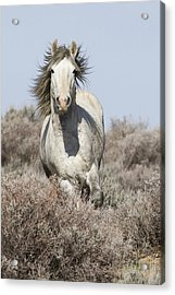 Wild Grey Stallion Runs Close Acrylic Print by Carol Walker